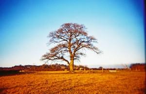 Oak makes a good climbing tree
