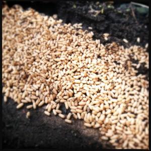Ant larvae