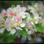 Edible flowers: Apple Blossom / Crab Apple Blossom