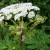 Poisonous Plants: Giant Hogweed