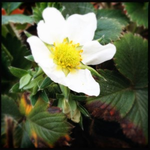 Strawberry flower - look out for this in spring