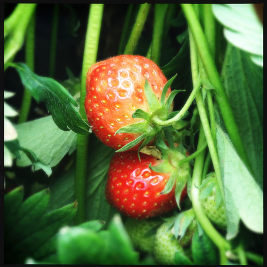 Strawberries - one of the jewels of summer fruit