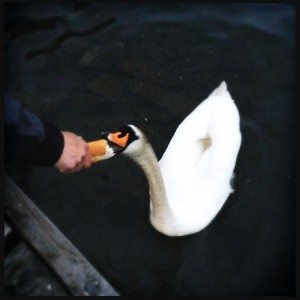 Feeding swans from your hands
