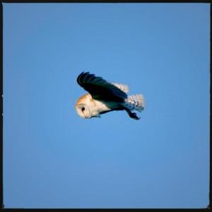 Barn owl's screech