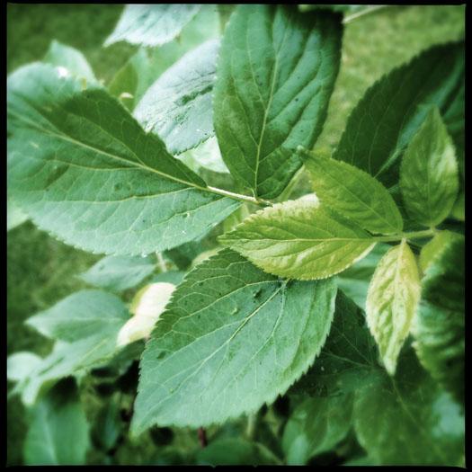 The Elder's leaves are quite distinct