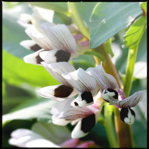 Broad Bean Flowers
