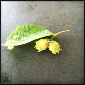 Green hazel nuts