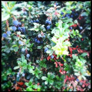 Barberry | Berberrie is toxic when eaten