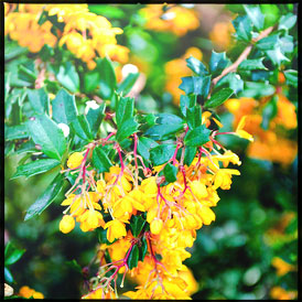 Barberry / Berberis flower